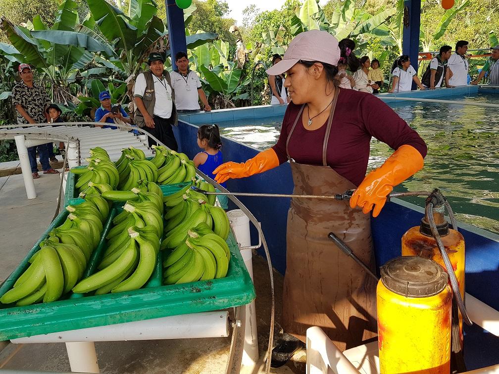 Acciones gubernamentales promueven la exportación de banano