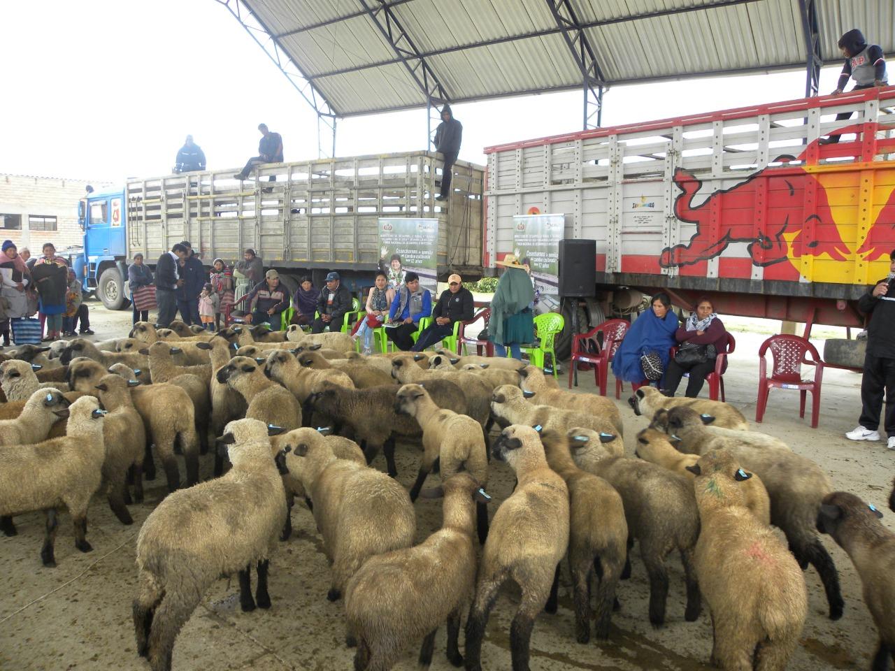 Mejoramiento de la producción de ovinos en Tiraque – Cochabamba