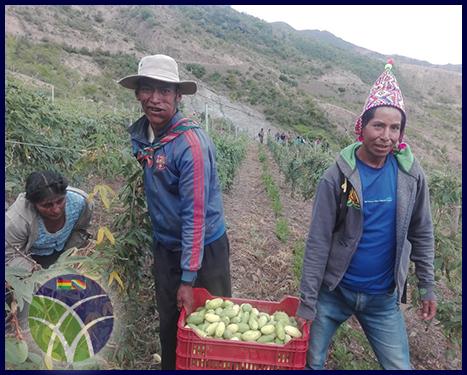 Gobierno incentiva la producción de tumbo en Potosí
